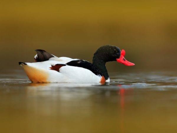 Что за птица утка пеганка (атайка)? описание, разведение