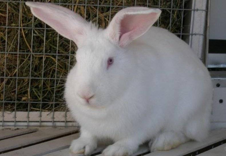 Характеристика кроликов белый великан: особенности ухода за альбиносами