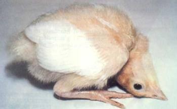 Болезни цыплят бройлеров: как и чем лечить неинфекционные болезни