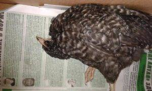 ✅ о лечении поноса у гусят: что делать, если птица поносит и дохнет - tehnomir32.ru