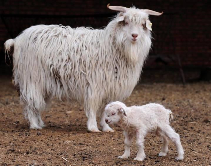 Породы коз: описание и характеристика всех видов