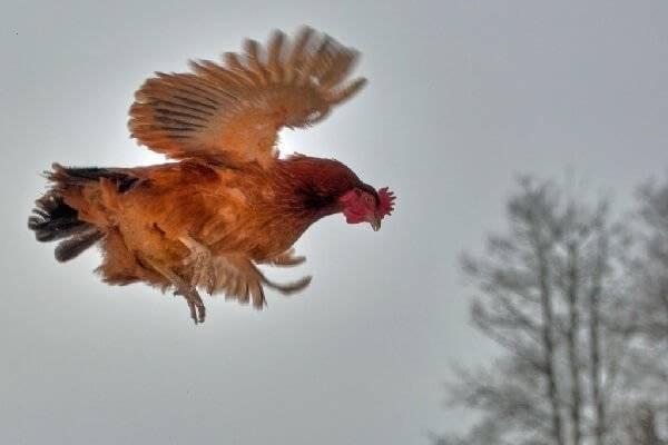Как подрезать курам крылья чтобы не летали: пошаговая инструкция