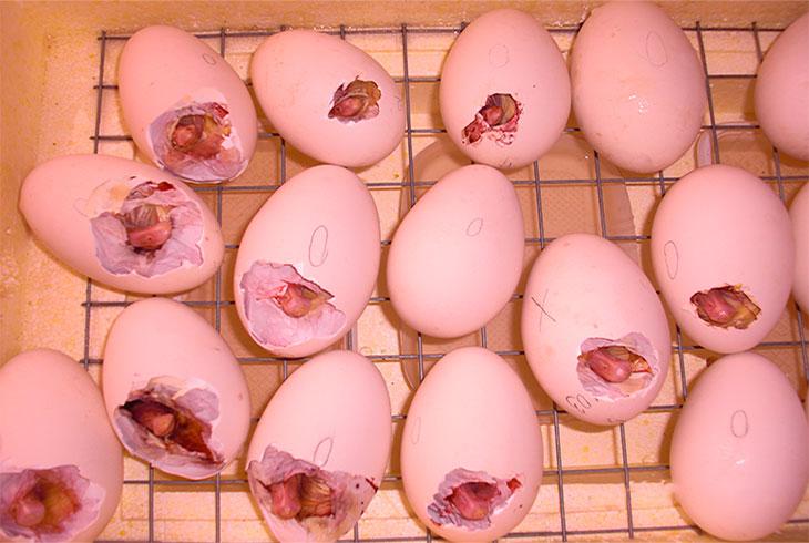 Сколько дней нельзя есть яйца после лечения кур от глистов