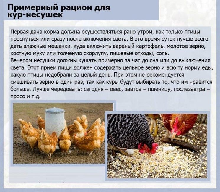 Чем кормить гусей - суточная норма, что можно, что нельзя давать