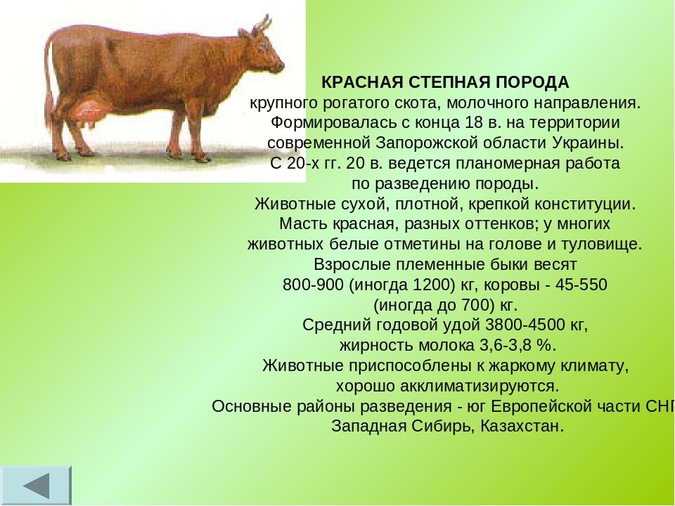 Коровы швицкой породы: описание и особенности содержания