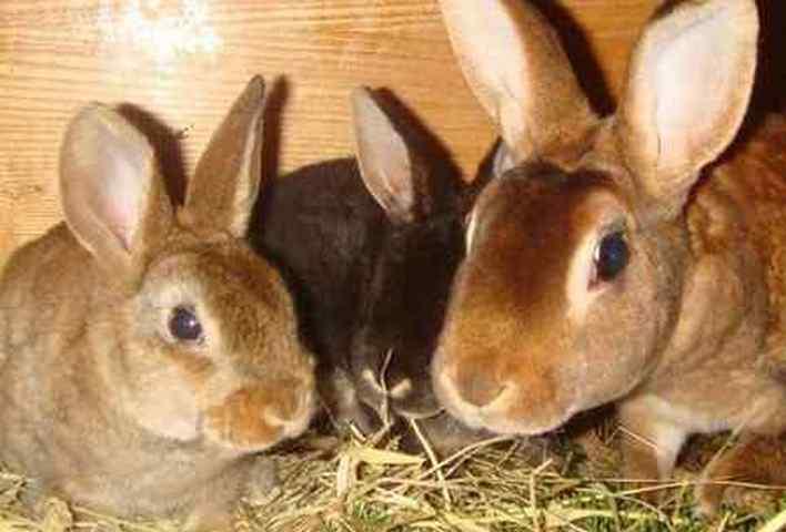 ✅ о глистах у кроликов: основные симптомы и лечение, чем делать дегельминтизацию - tehnomir32.ru