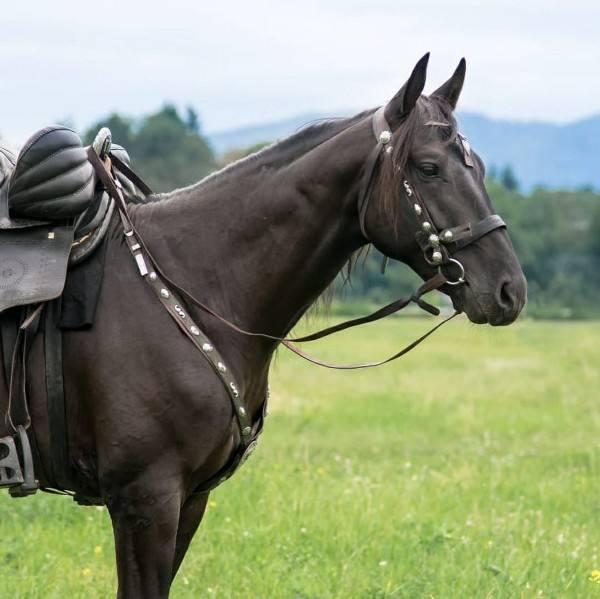 Кабардинская порода лошадей: характеристика, масти, внешний вид, фото и описание