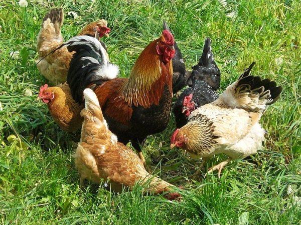 Почему цыплята клюют друг друга