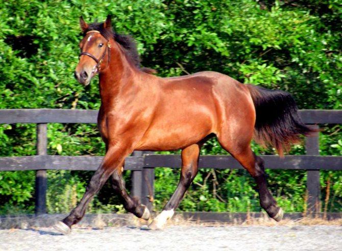 Голландская теплокровная порода лошадей. фото и описание
