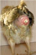 Расклев у цыплят: причины и лечение