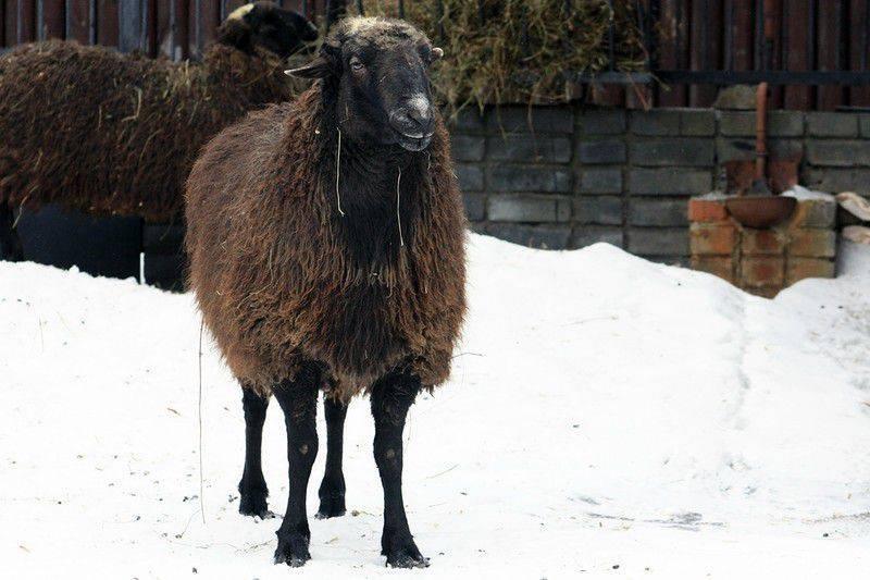 Особенности разведения и содержания гиссарских овец 2020
