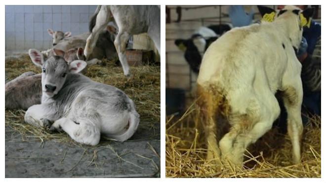 Понос у коровы лечение в домашних условиях | портал о народной медицине