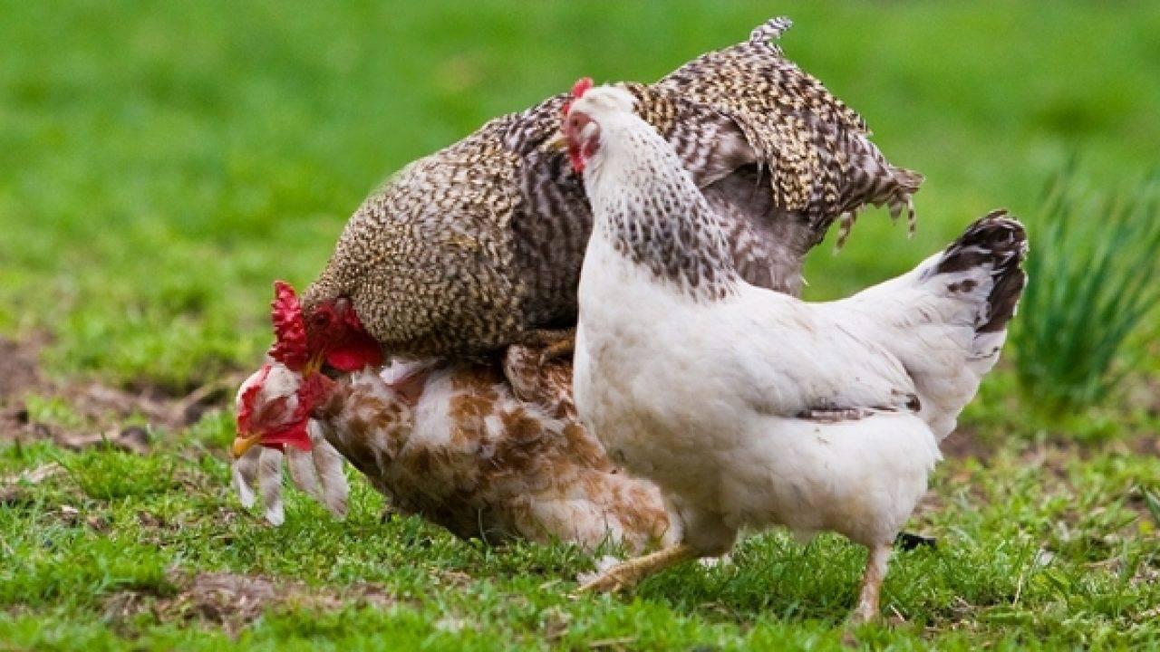 Почему куры клюют друг друга до крови — selok.info
