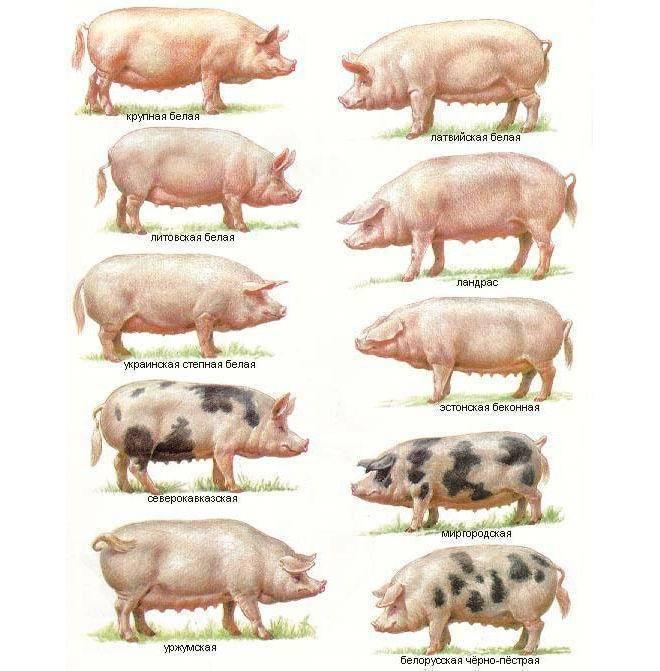 Порода свиней ландрас - особенности содержания в домашних условиях