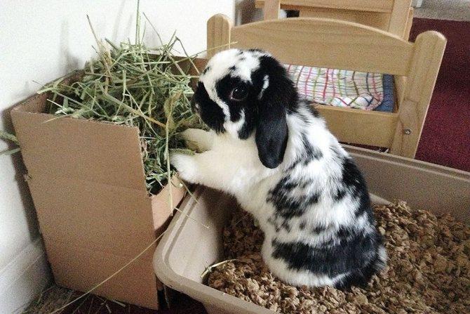 Правильное приучение кролика дома