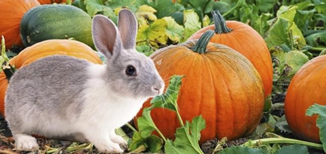 Можно ли кроликам давать кабачки