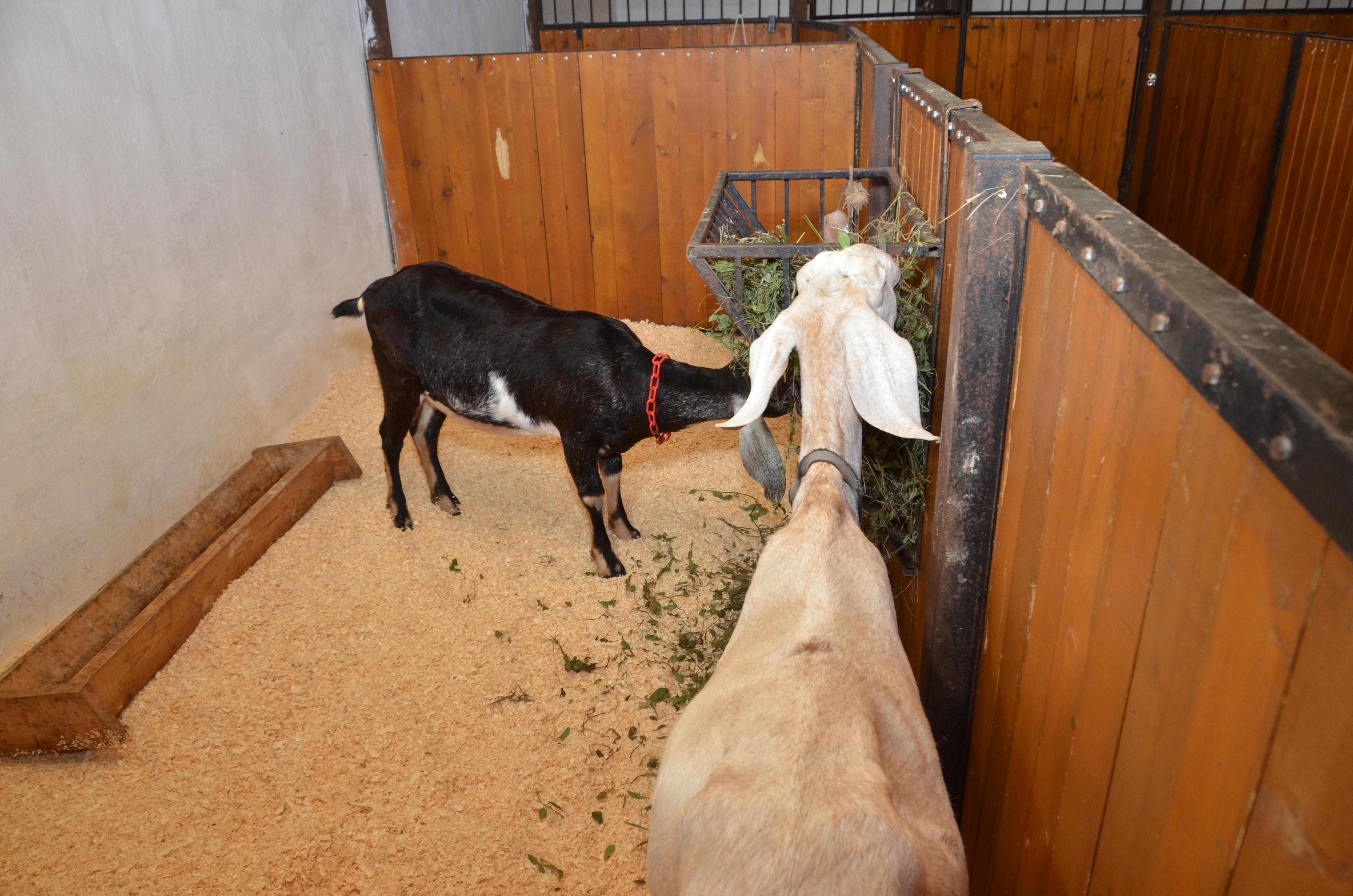 Дойные козы: разведение в домашних условиях для начинающих