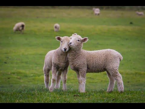 Баран и овца: в чем основная разница, особенности происхождения слов, отличительные характеристики животных