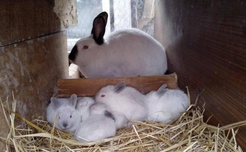 Чем кормить крольчиху после окрола чтобы было больше молока? - домашние наши друзья
