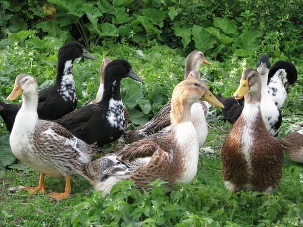 Башкирская утка: фото, описание породы, особенности содержания и разведение в домашних условиях