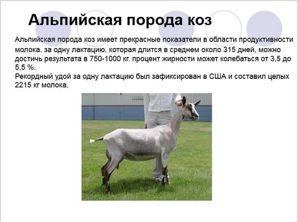 Описание альпийской породы коз, история и характеристики