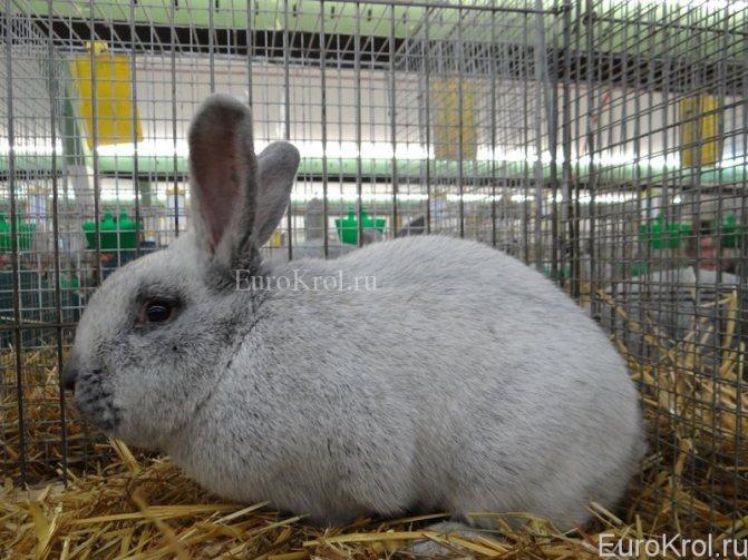 Венский голубой кролик: описание и характеристики породы, правила ухода