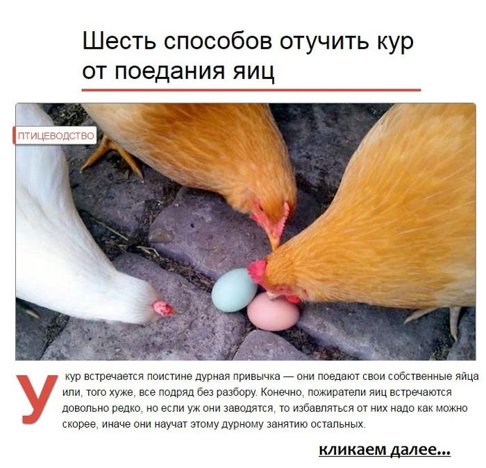Сколько дней курица сидит на яйцах и как вывести потомство правильно