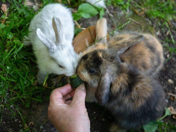 Можно ли кормить кроликов свежими огурцами: правила и нормы кормления - гид по огороду