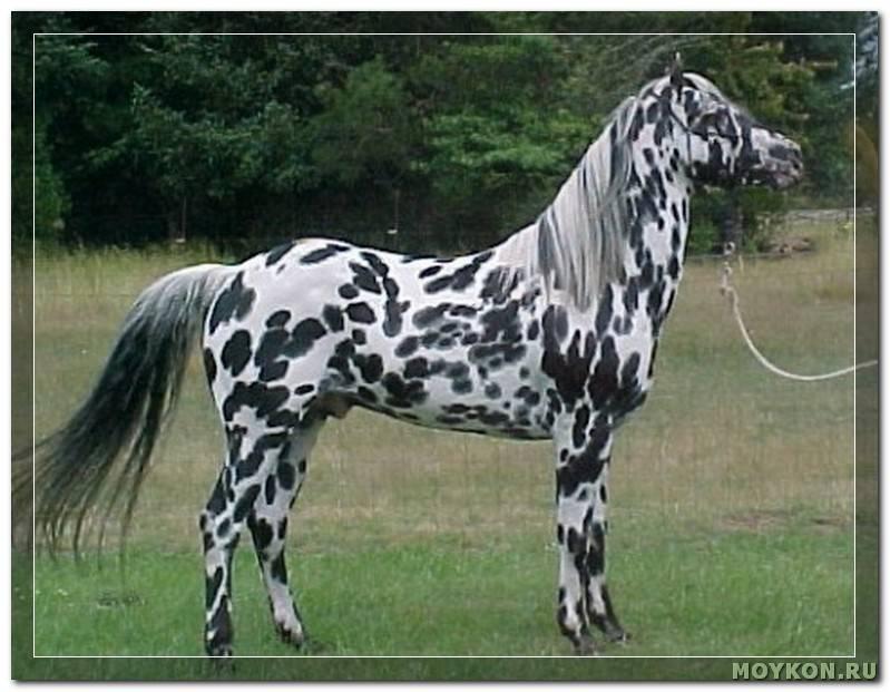 Породы лошадей (51 фото): виды коней с описанием, обзор цыганских, исландских и вятских лошадей, породистые скаковые лошади с названиями