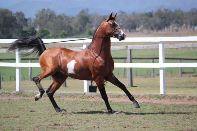 Верховая лошадь арабской породы: описание, содержание и уход