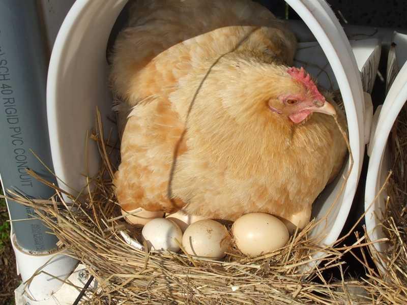 Сколько суток курица высиживает цыплят и другие вопросы по насиживанию яиц