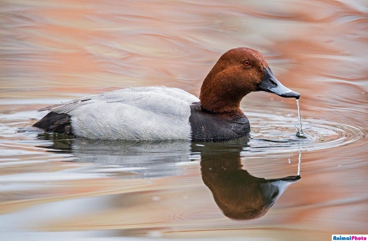 Птица нырок: среда обитания, разновидности утки нырок, окрас