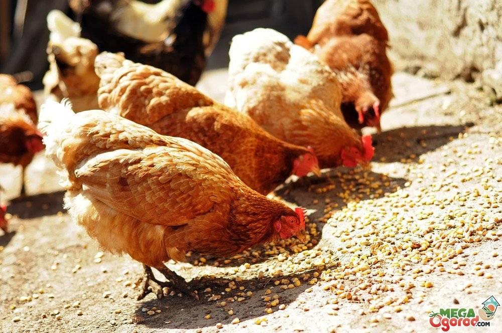 Чем кормить куриц-несушек в домашних условиях, чтобы хорошо неслись?