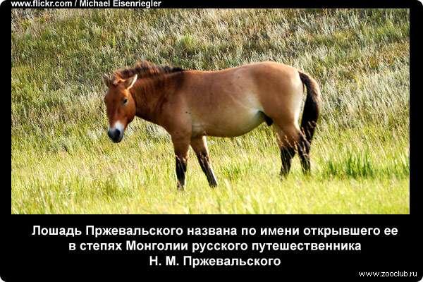 Лошадь пржевальского: фото и описание, численность, красная книга, где обитает