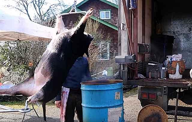 Когда можно резать свинью