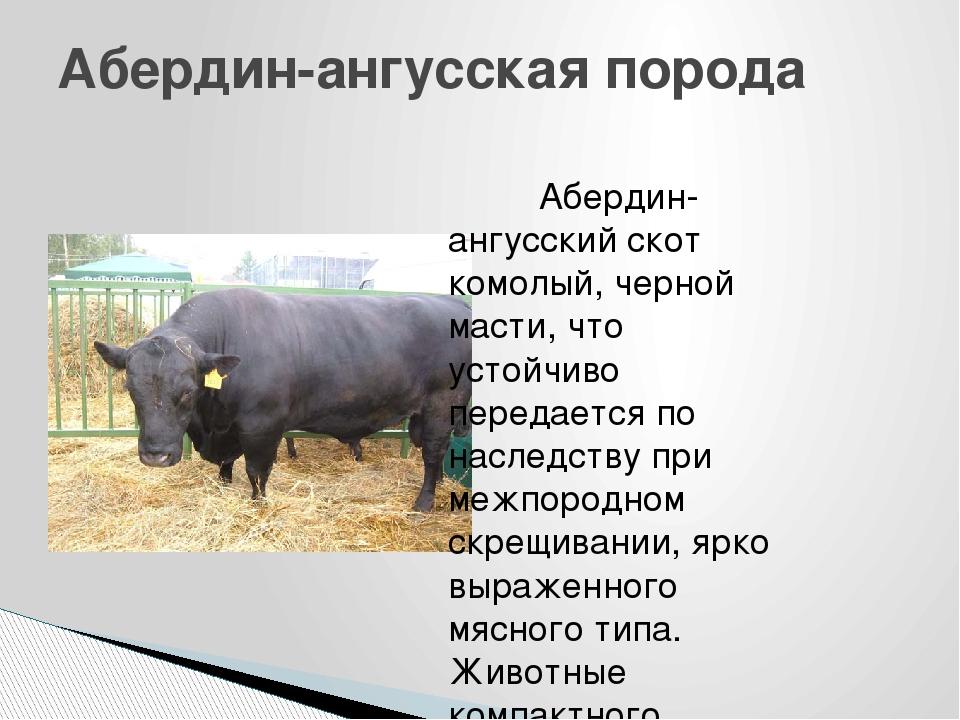 Характеристики абердин ангусской породы коров
