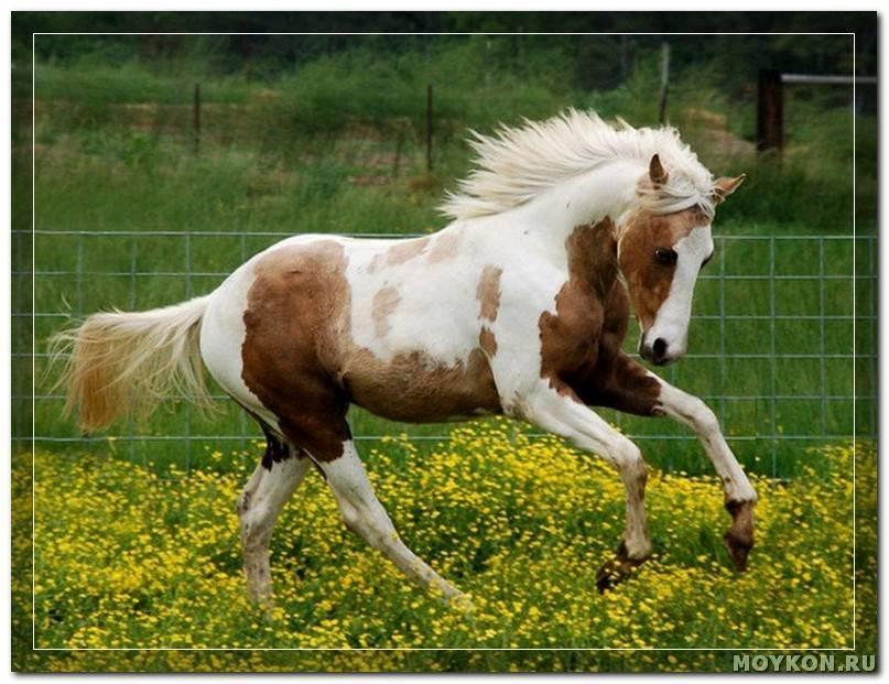 Какие бывают масти лошадей пегого окраса
