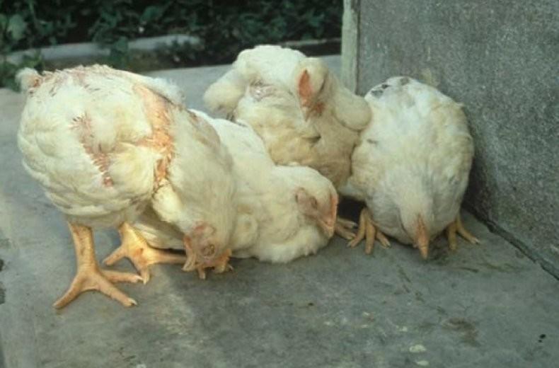 Водянка у курицы можно употреблять в пищу