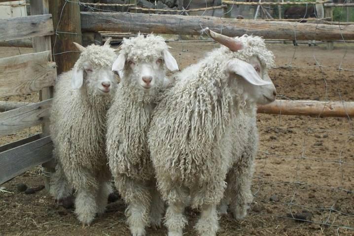 Породы коз: русская белая, альпийская и ангорская и другие, описание и характеристика