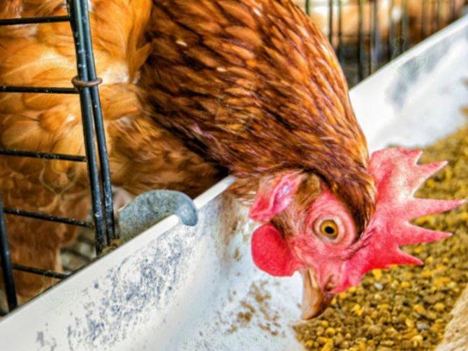✅ надо ли давать курам соль. соль для курицы – нужна или нет? сколько давать?