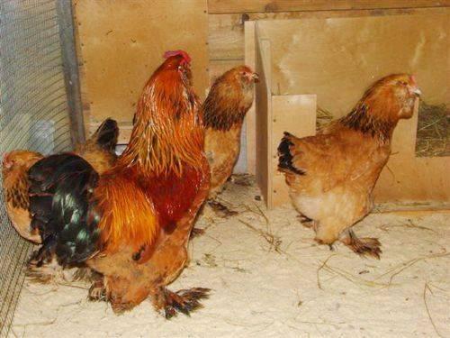 Куры с мохнатыми ногами: лохмоногие породы куриц, фото, описание