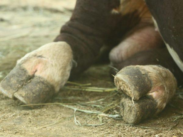 Копыта коровы: обрезка и обработка, болезни и лечение