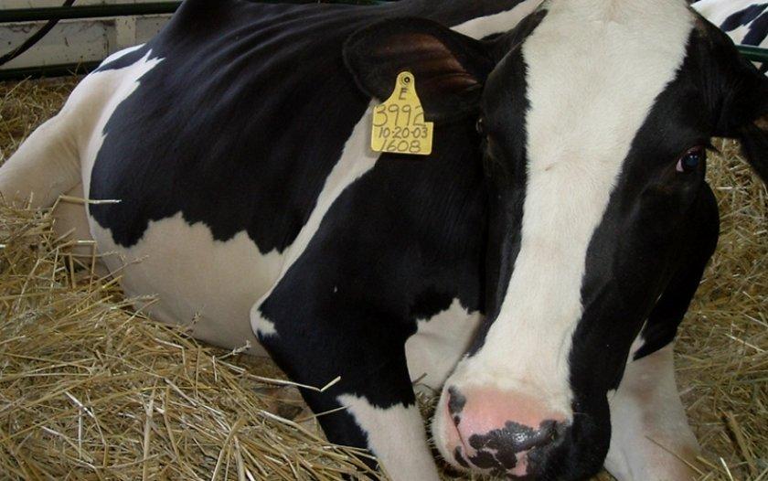 Что делать при вздутии живота у коровы, телят, крс: лечение тимпании рубца