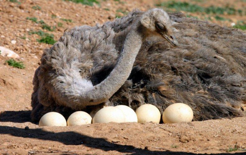 Все о яйценоскости страусов и их уникальных продуктах - страусиных яйцах