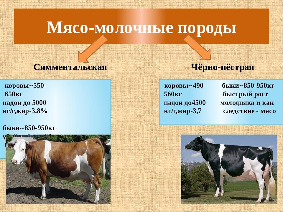 Швицкая порода коров: характеристика, плюсы и минусы крс