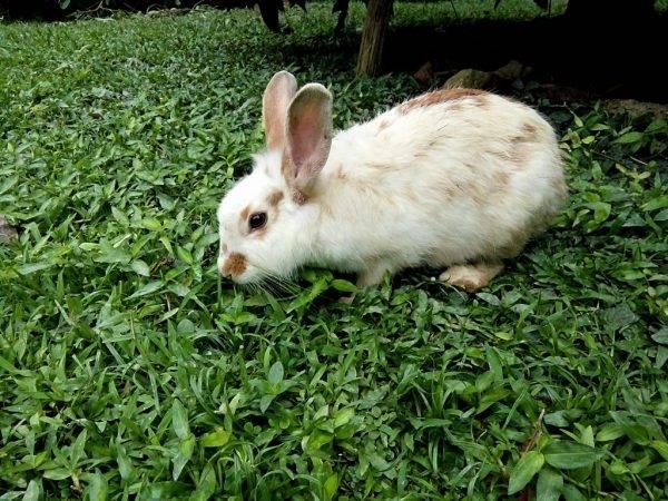 Зеленый рацион декоративных и карликовых кроликов