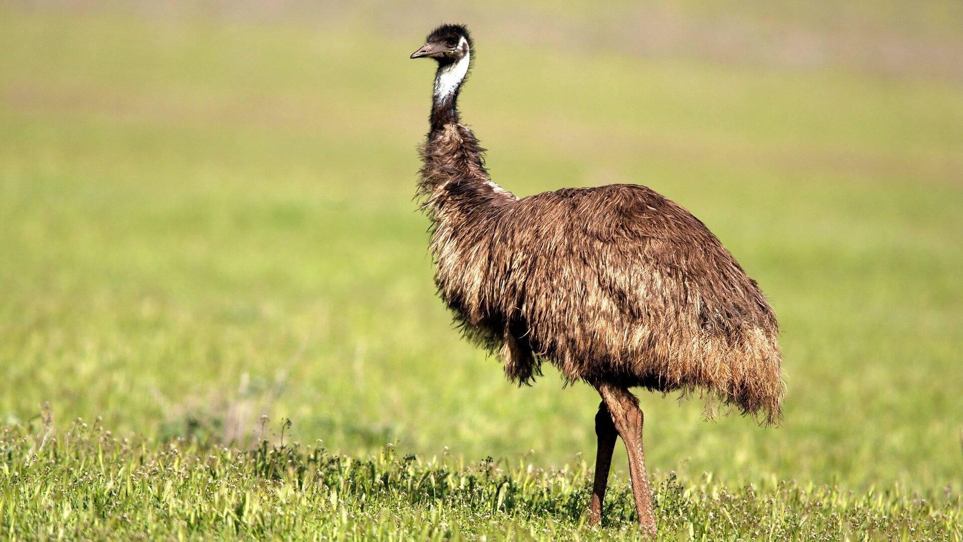 Виды страусов (24 фото): описание сомалийских черных, азиатских и представителей других пород. какую разновидность выбрать?
