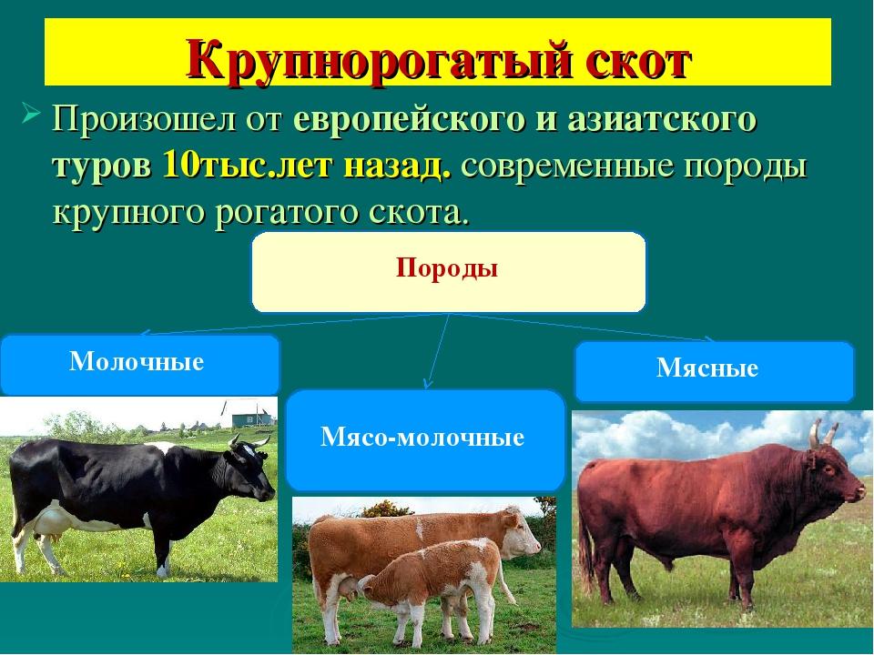 Крупный рогатый скот – описание крс