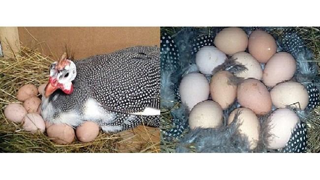 """В каком возрасте и сколько цесарка несет яйца? — журнал """"рутвет"""""""
