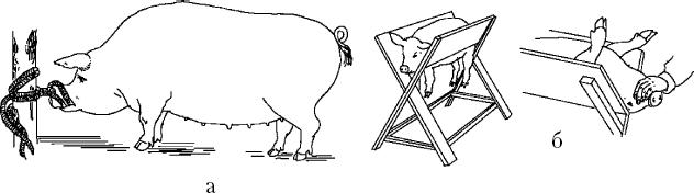 Как кастрируют поросят: способы и цели